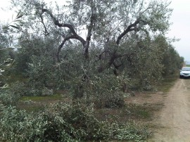 albero potato
