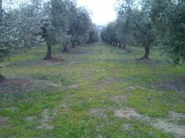 oliveto non potato alle 6