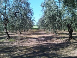 oliveto dopo trinciatura