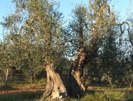 oliveto_2